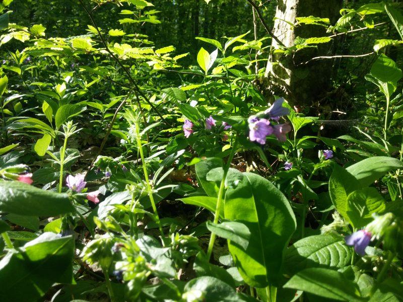 черный лес растения
